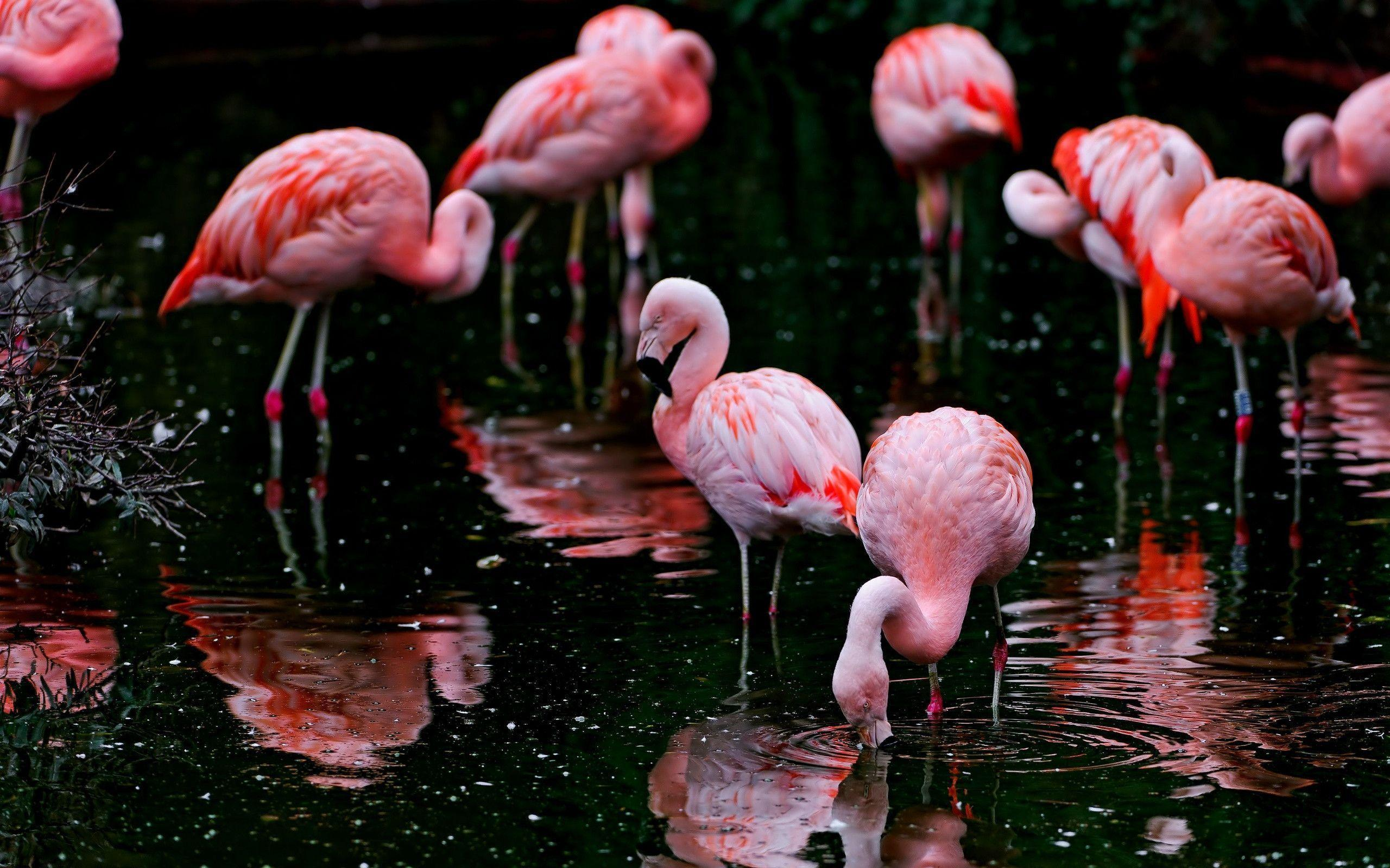 Flamingo HD backgrounds wallpapers