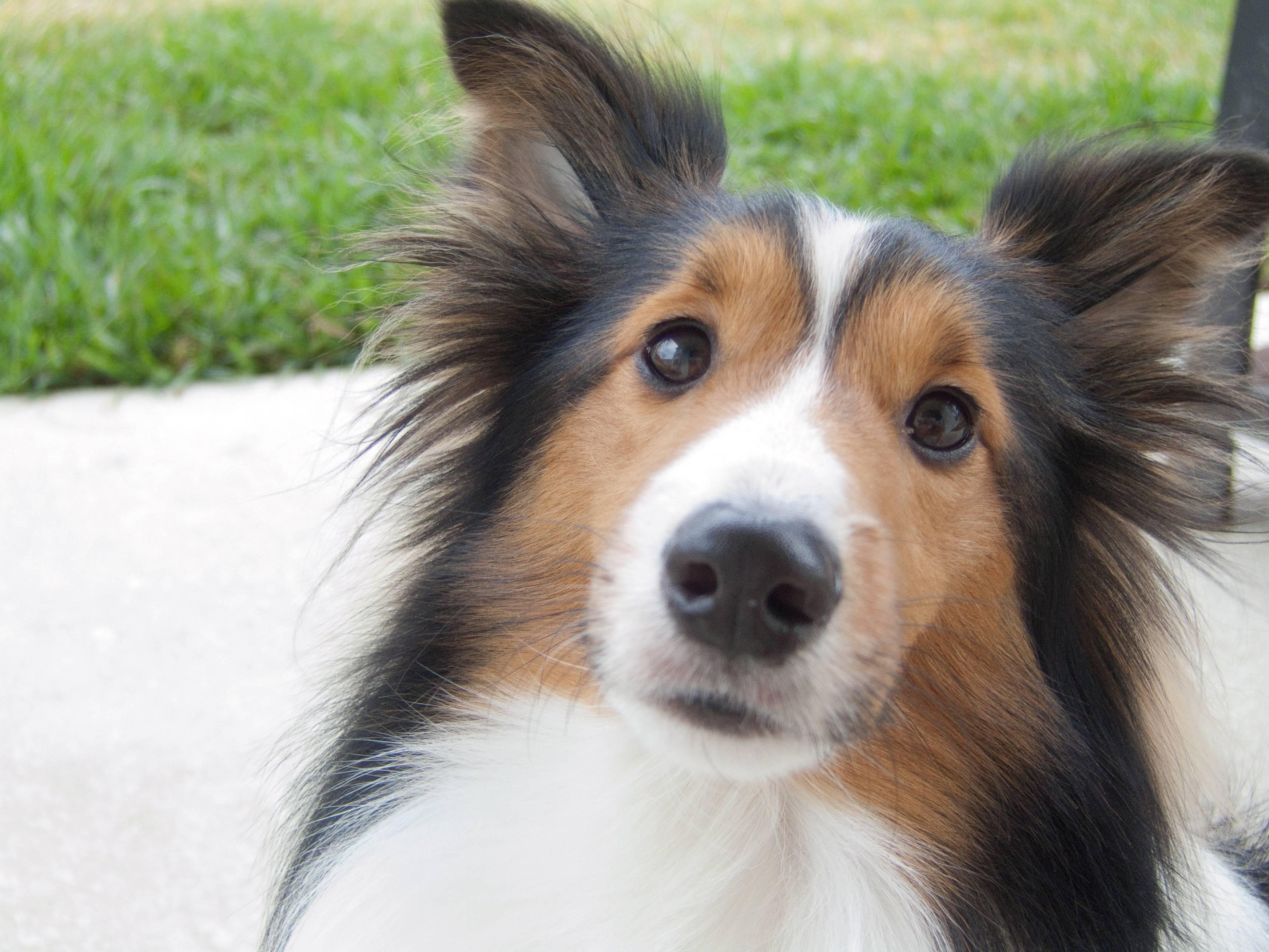 Dog Breeds Like Shelties
