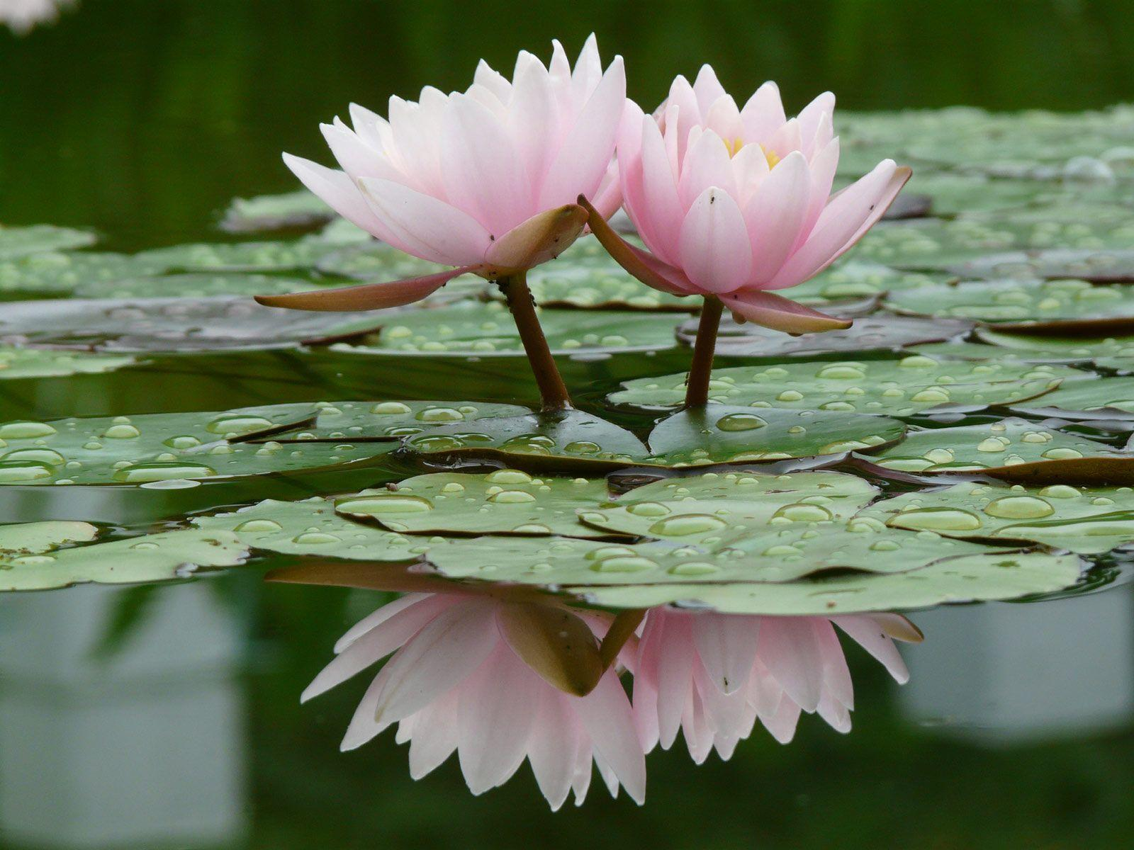 Water Lily Flower HD Wallpapers | Pictures of Water Lily Flowers .