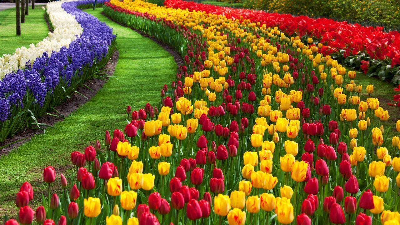 Tulip Flower Desktop Wallpapers | Free Download Tulip HD ...
