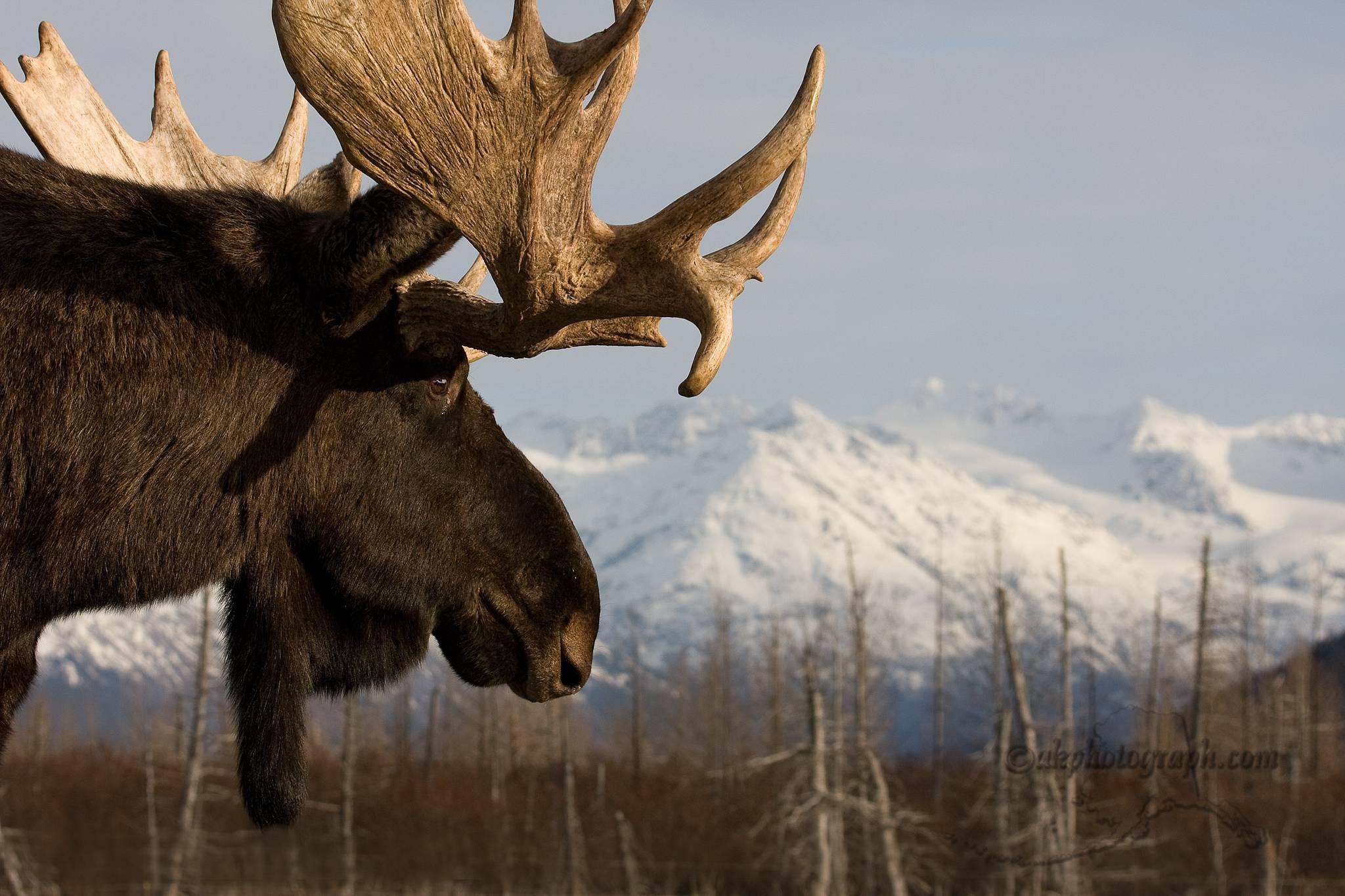Bull moose wallpaper - photo#33