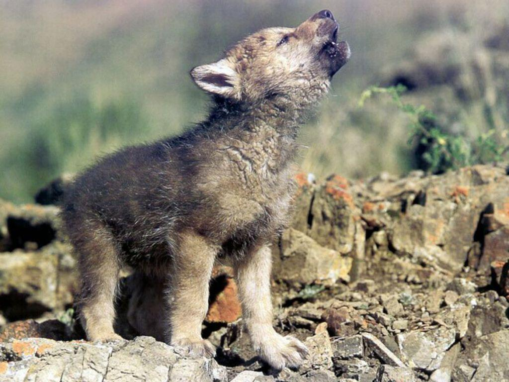 Wolf Baby HD Wallpapers