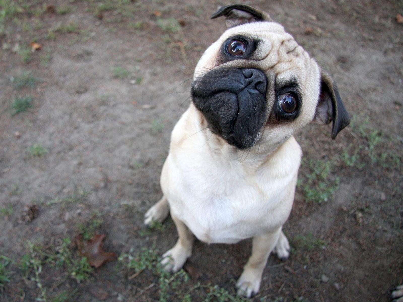 Free Online Pug Dog Games