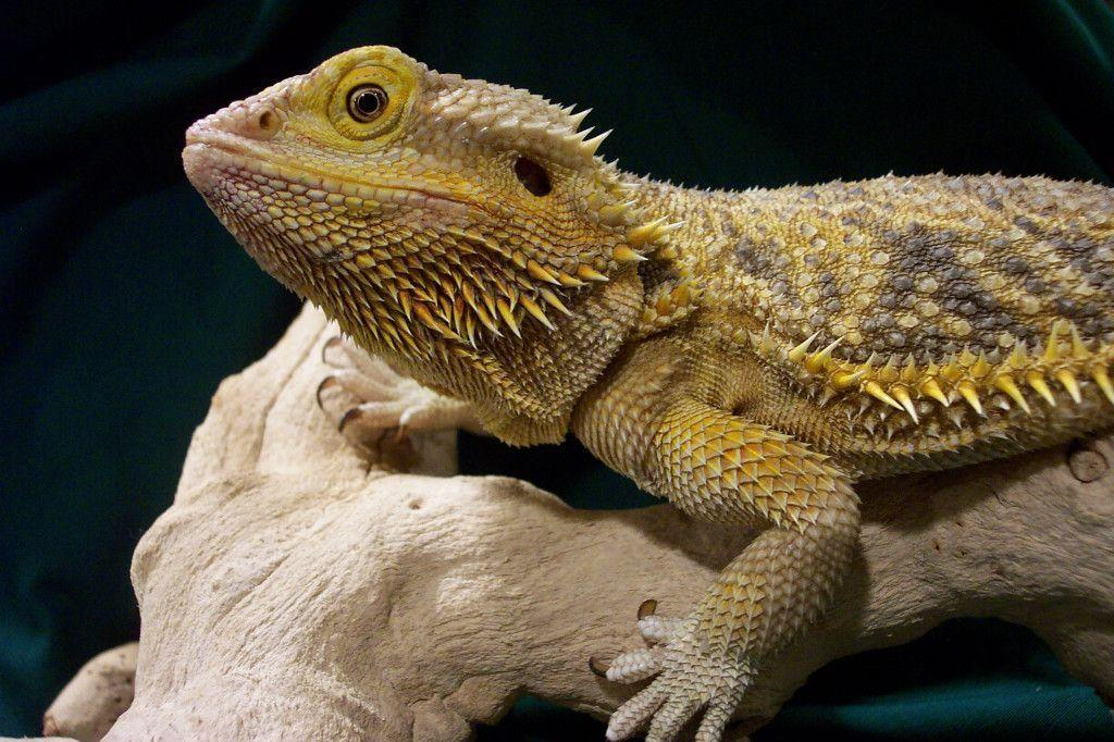 Bearded Dragon Wallpapers - Wallpaper Cave