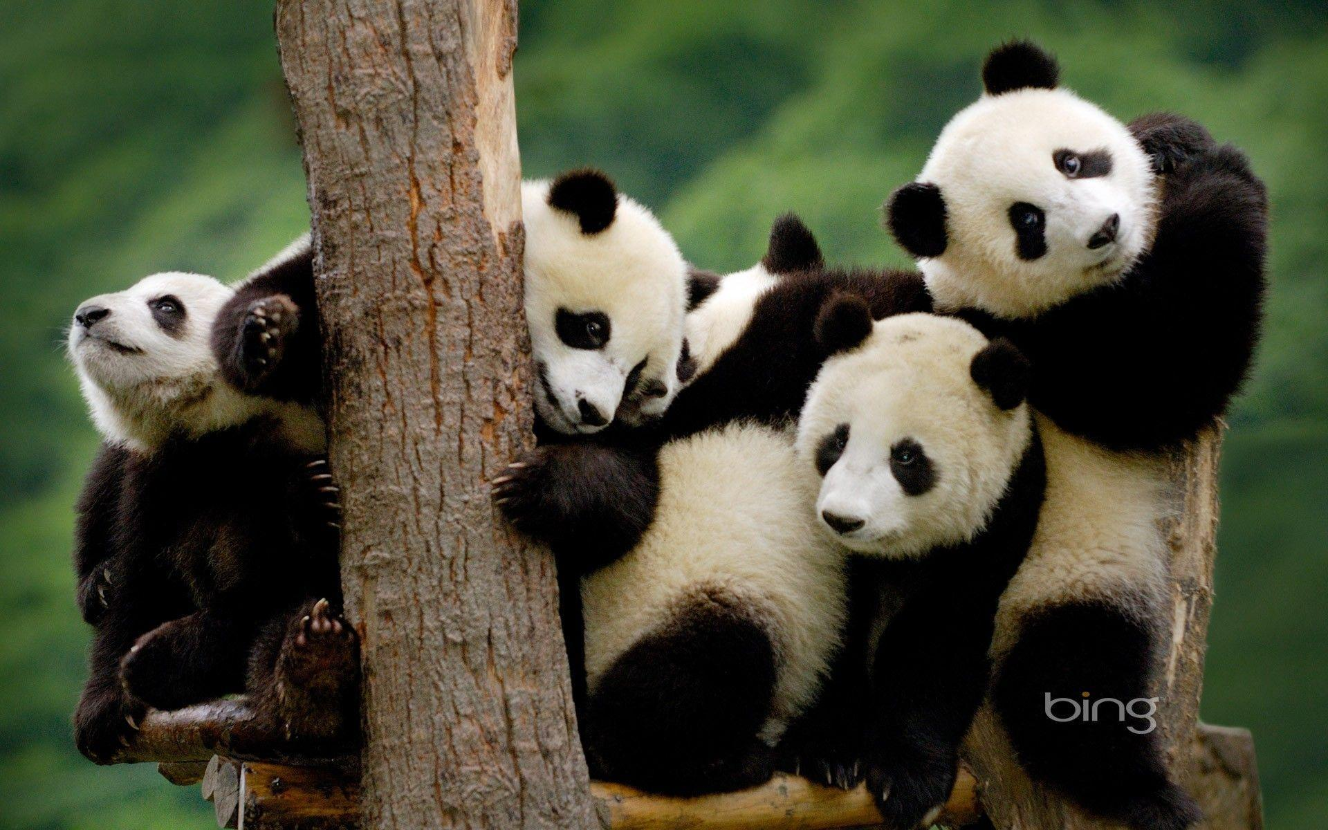 Panda Bear Wallpapers - Wallpaper Cave - photo#16