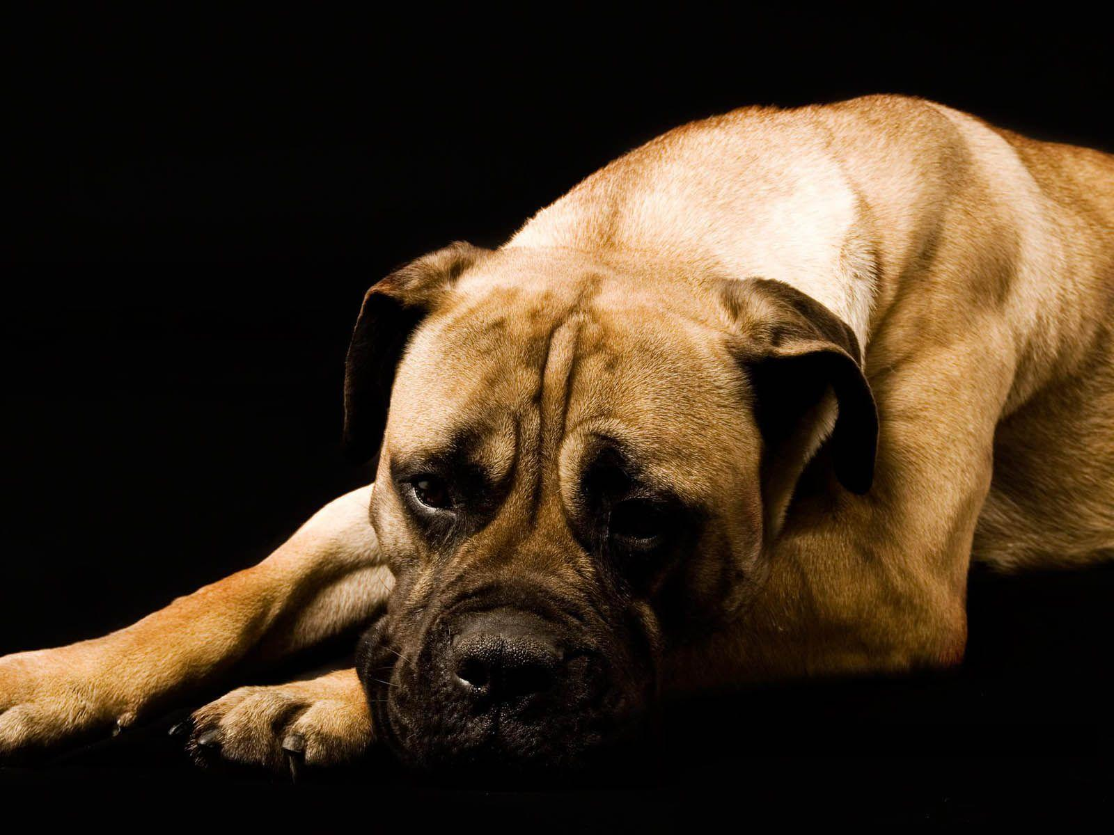 Boxer Dog Wallpapers Wallpaper Cave