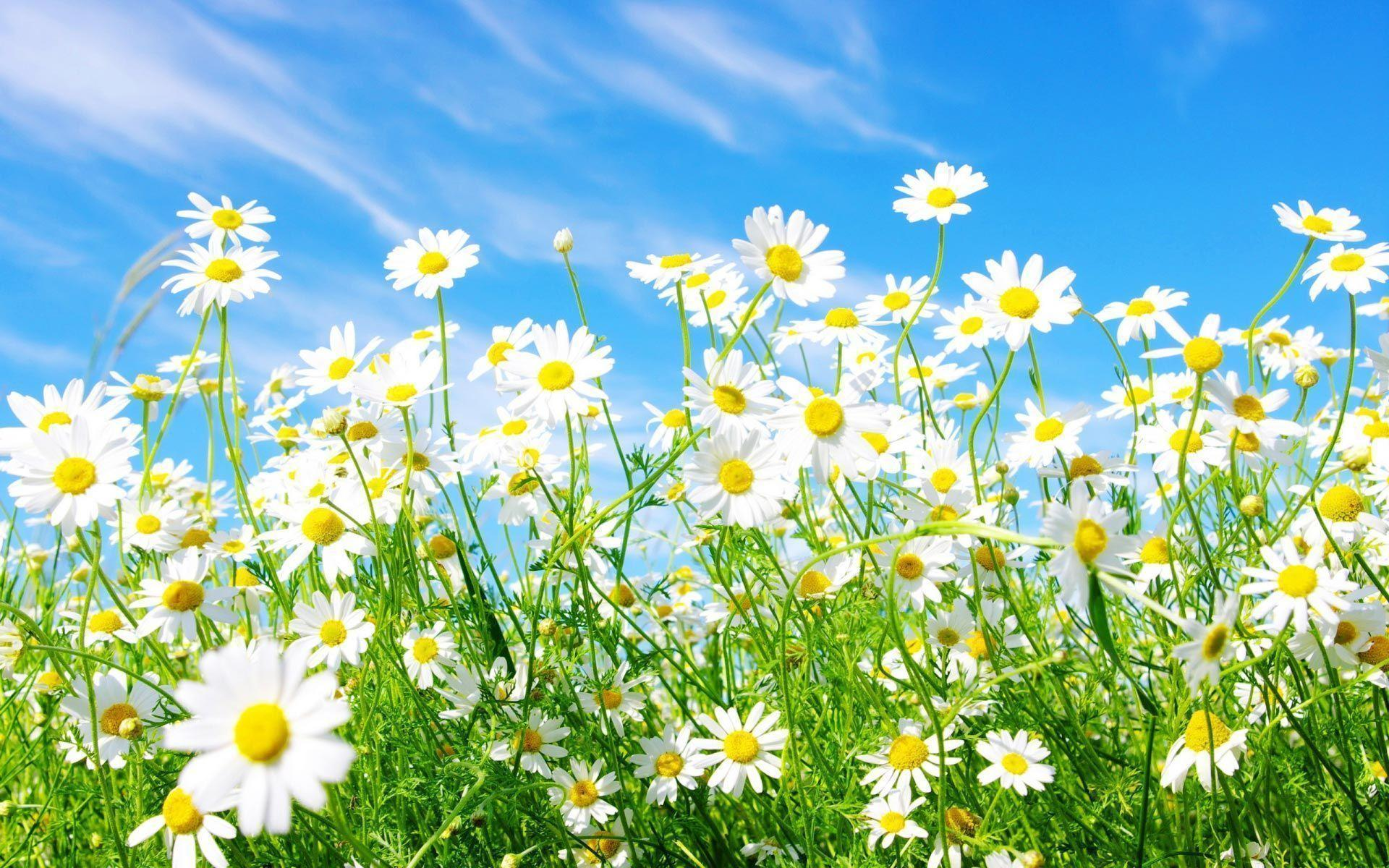 White Daisy Wallpapers
