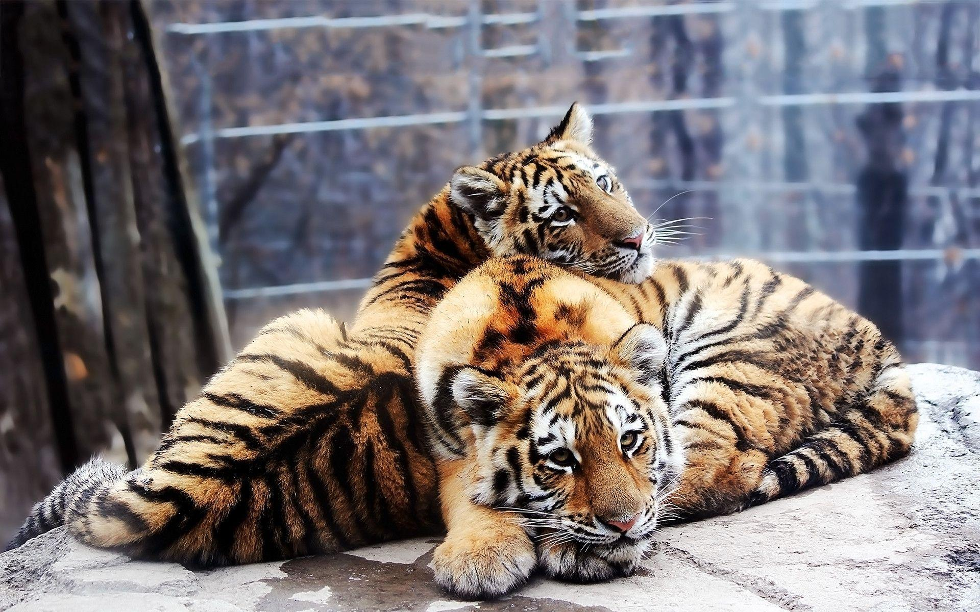 Siberian tigers Wallpapers