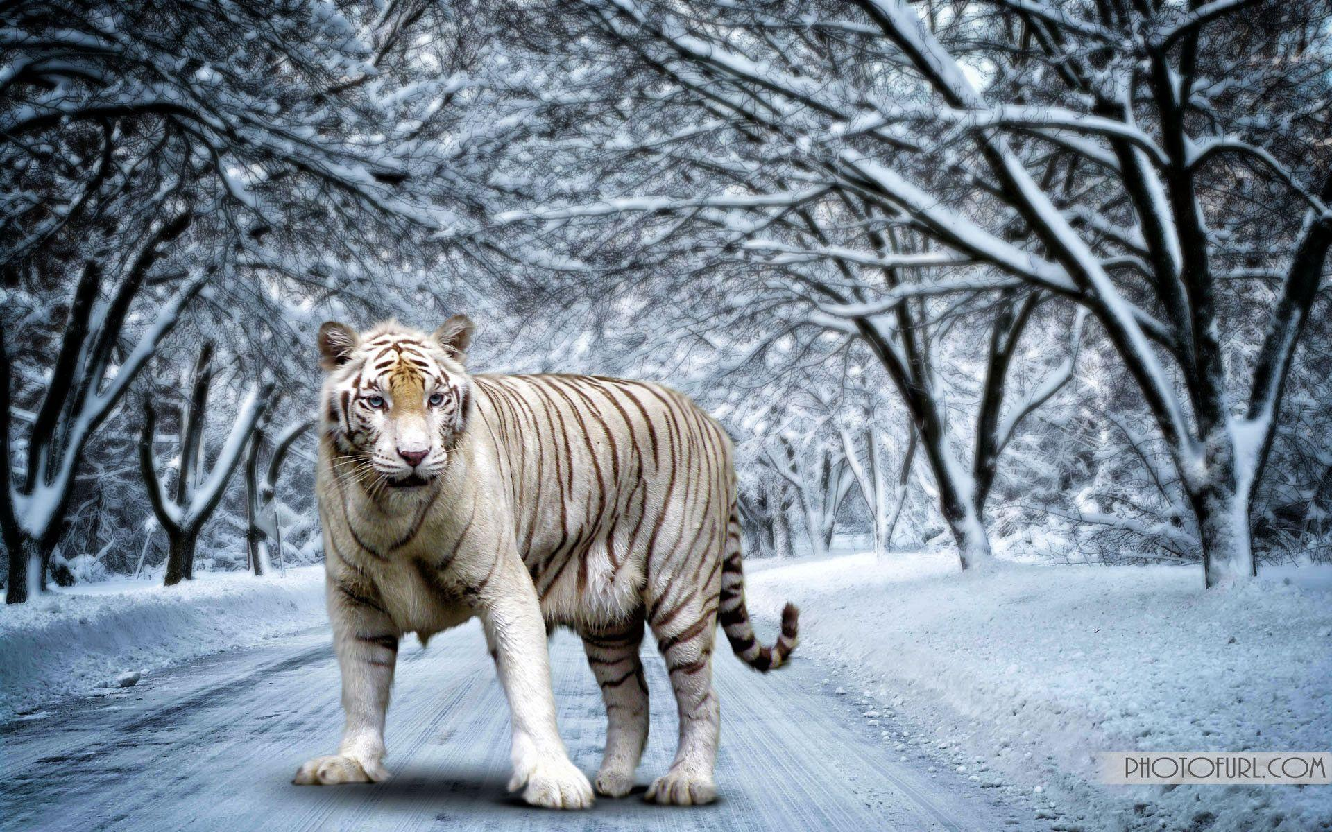 White bengal tiger wallpapers - photo#1