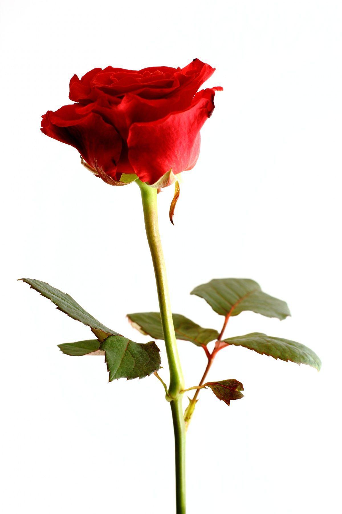 всегда фото одной красной розы на белом фоне этой целью могут