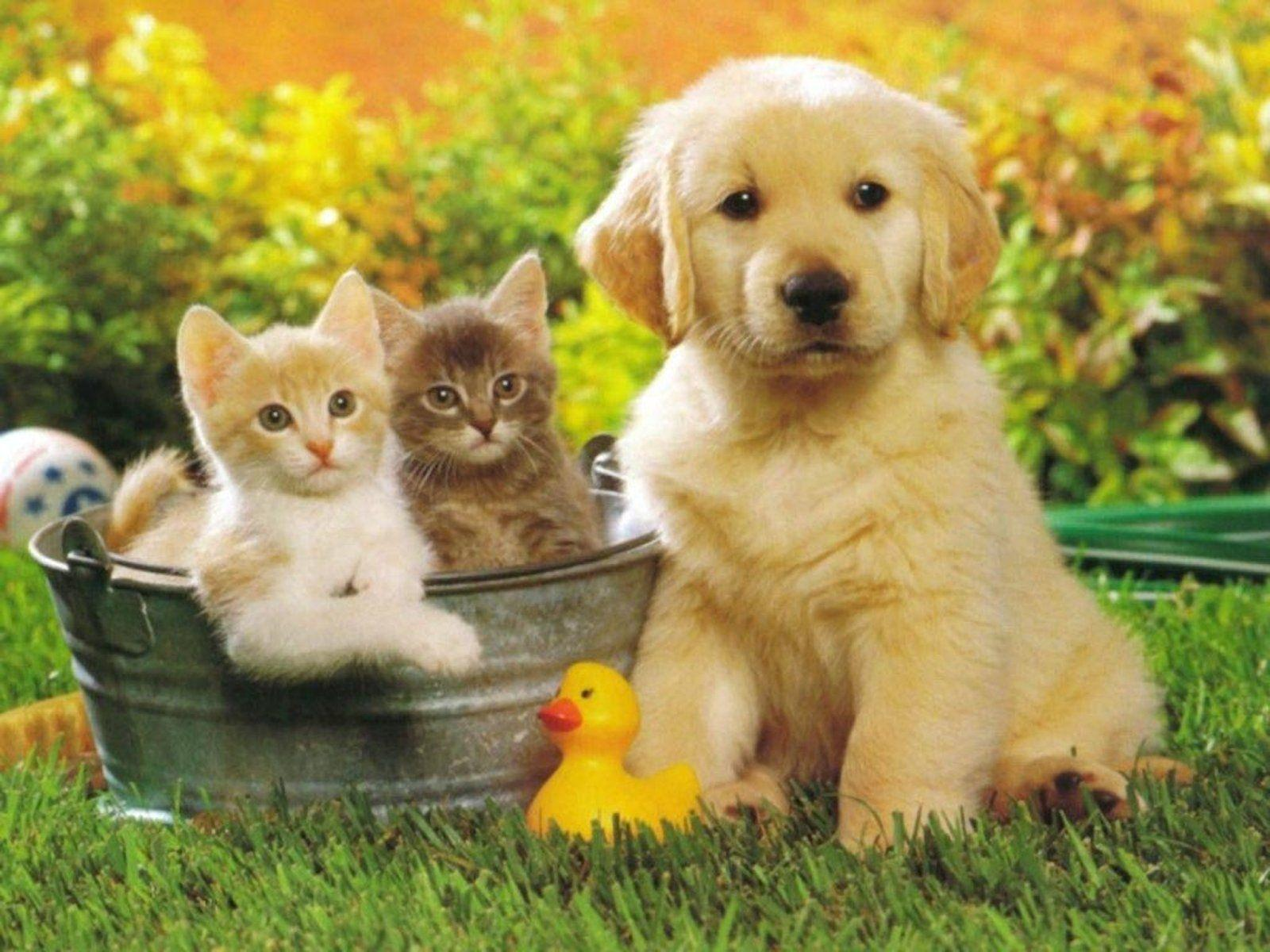 Golden Retriever puppy and kittens photo and wallpaper. Beautiful