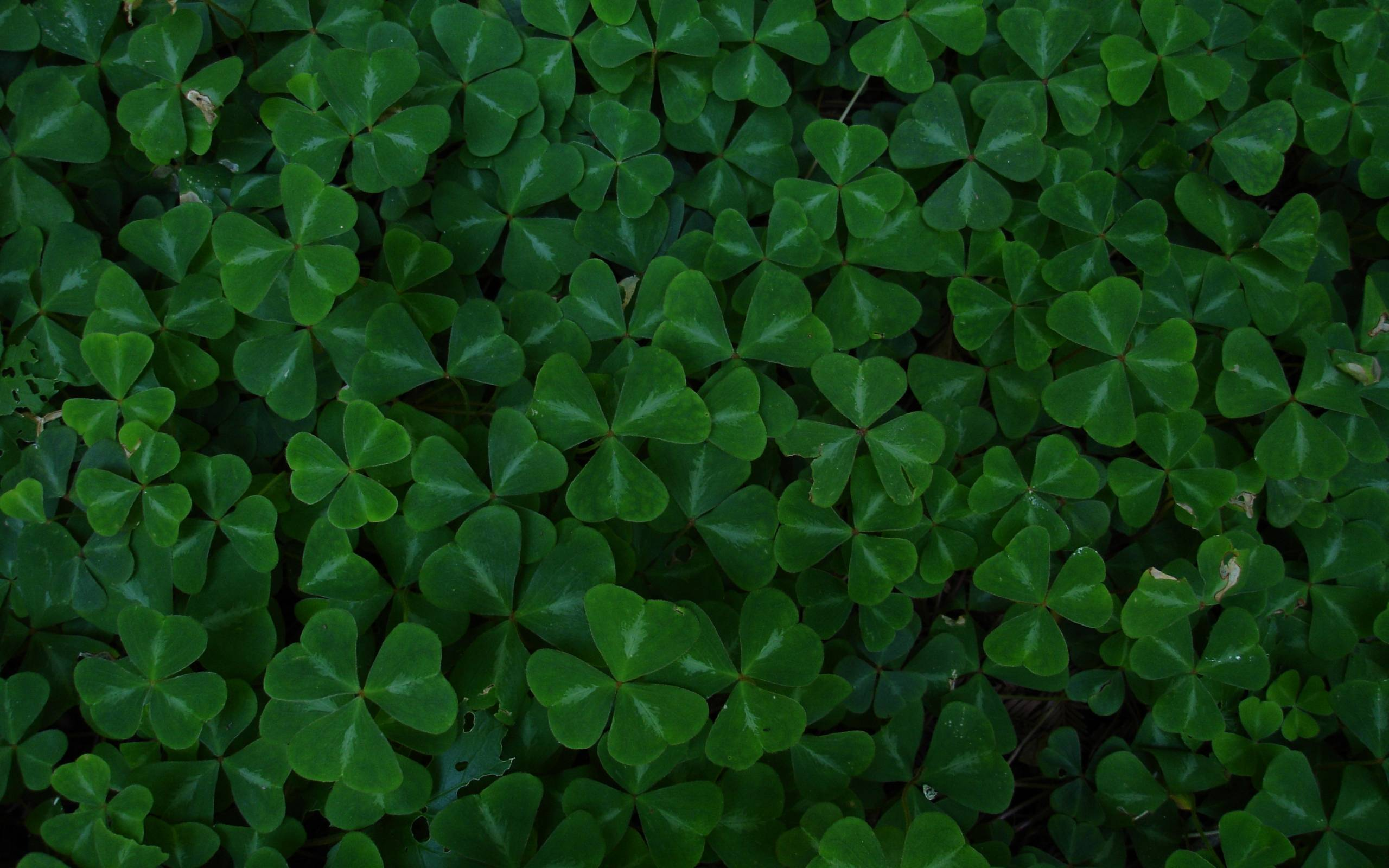 Green leaf clover wallpapers