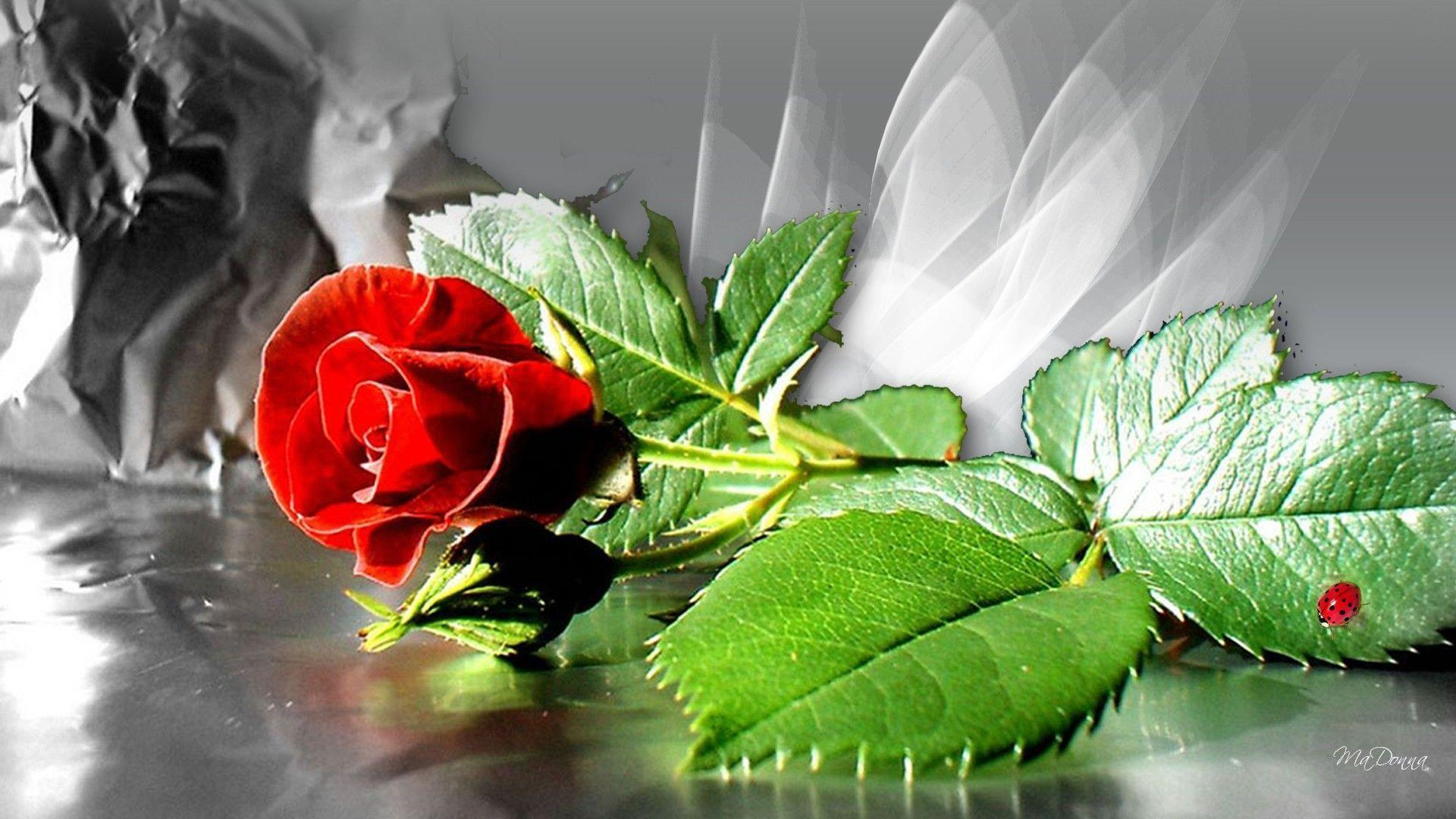 Hd wallpaper red rose - Single Red Rose Wallpaper Free Download