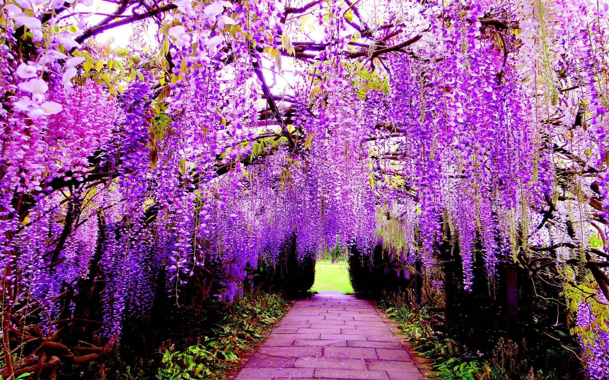 Wisteria wallpapers wallpaper cave for Flowers for japanese gardens