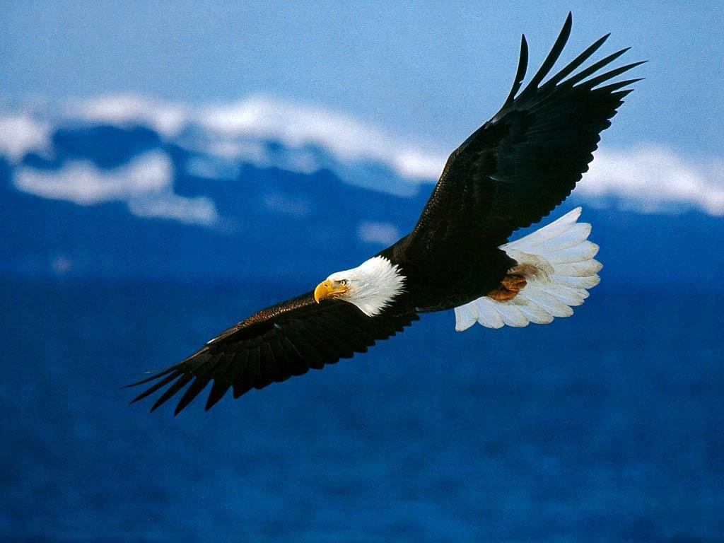 Bald Eagles Wallpaper Backgrounds Wallpapers
