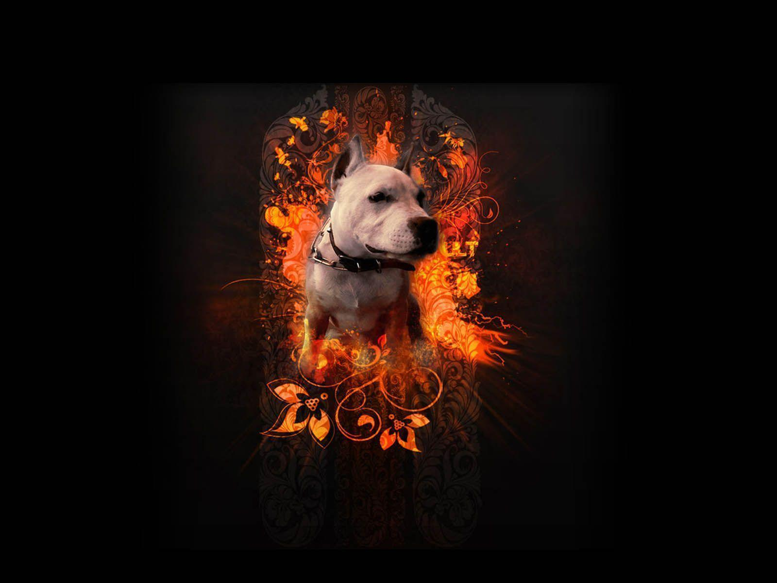 pittbull wallpapers wallpaper cave