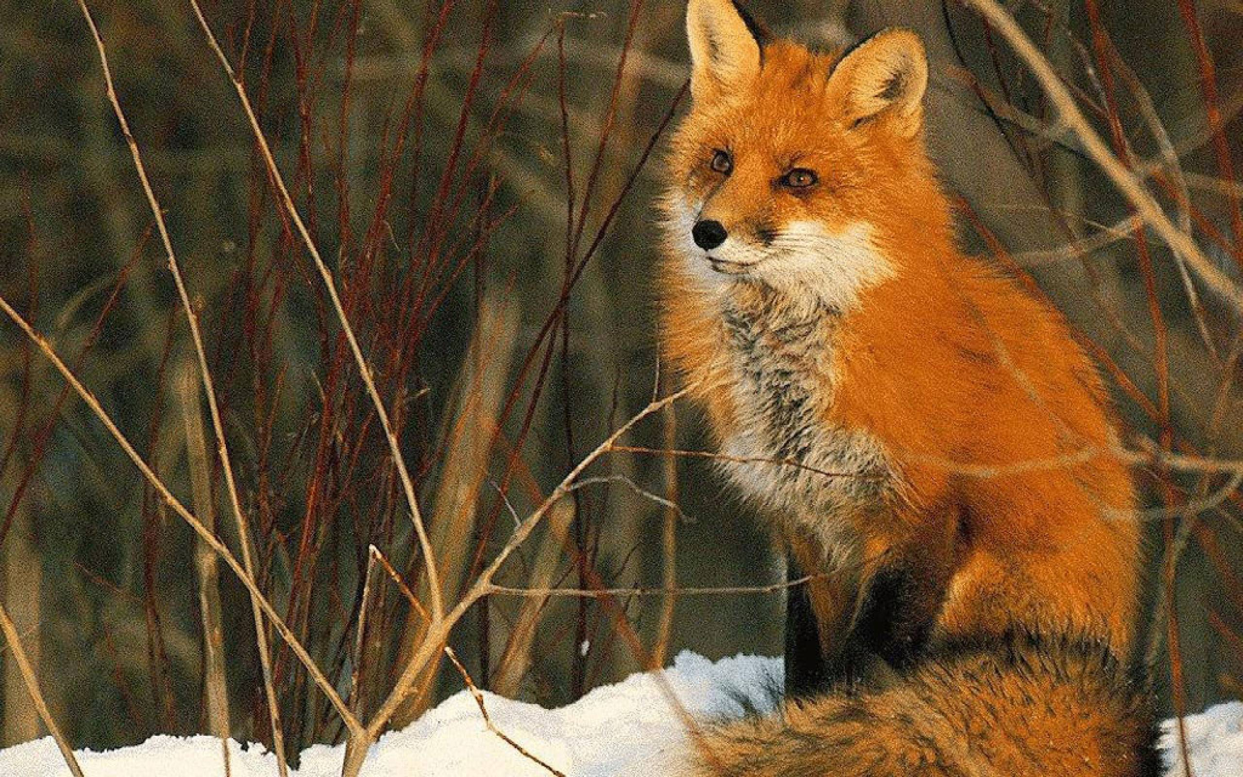Beautiful red fox Wallpaper - Animal Backgrounds