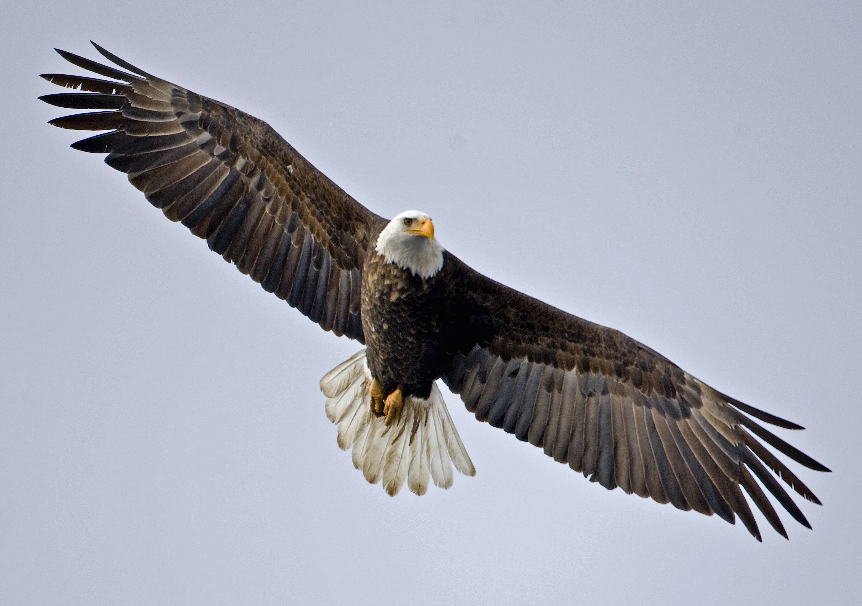 Bald Eagle Wallpapers and Backgrounds