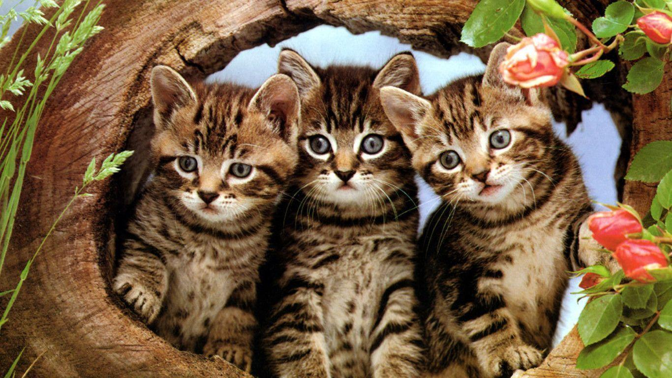 Free cat wallpapers for desktop wallpaper cave The three cats