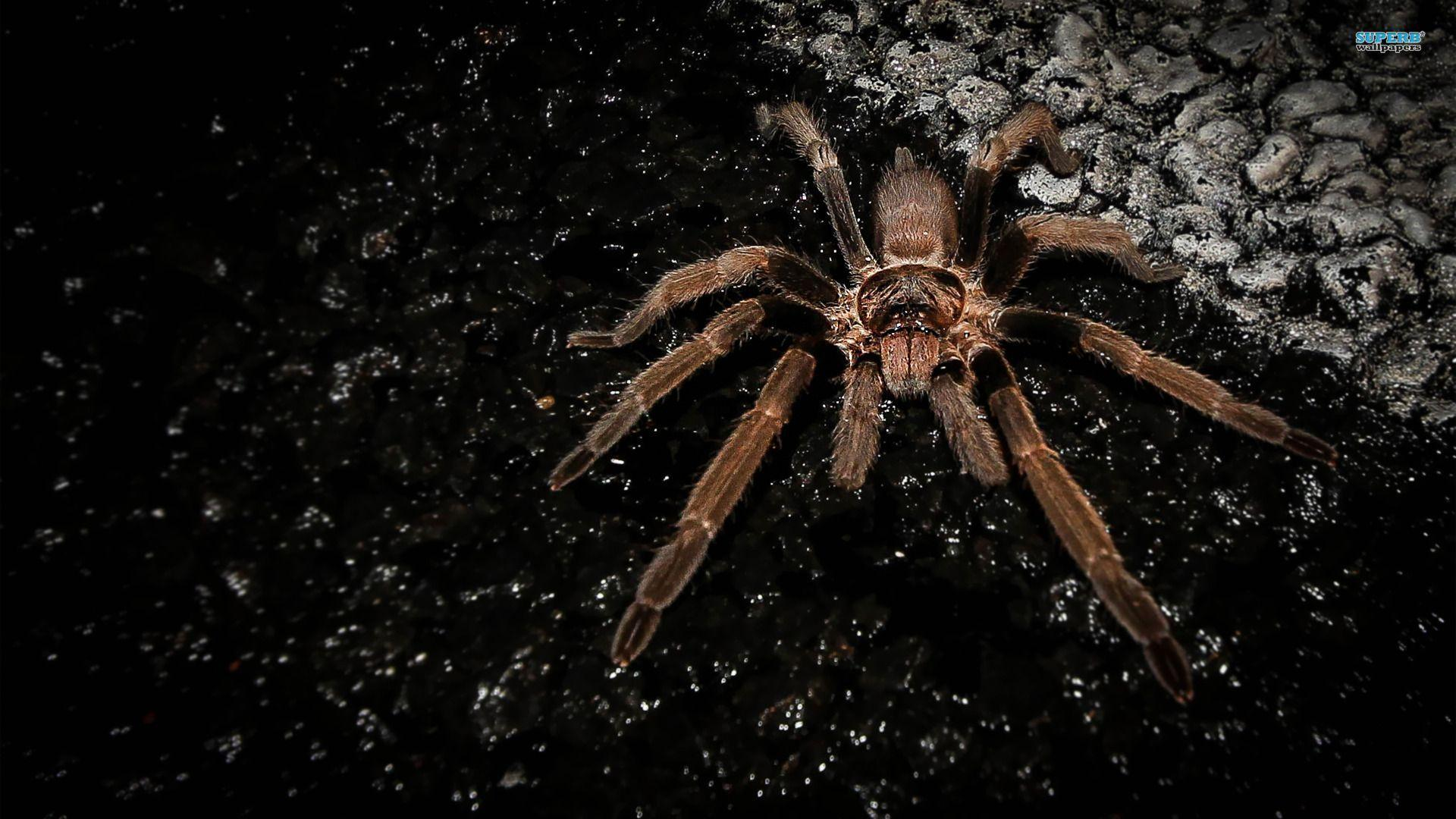 HD Collection Spider Wallpapers | vergapipe.