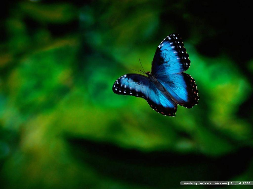 Blue Butterfly Wallpapers Wallpaper Cave
