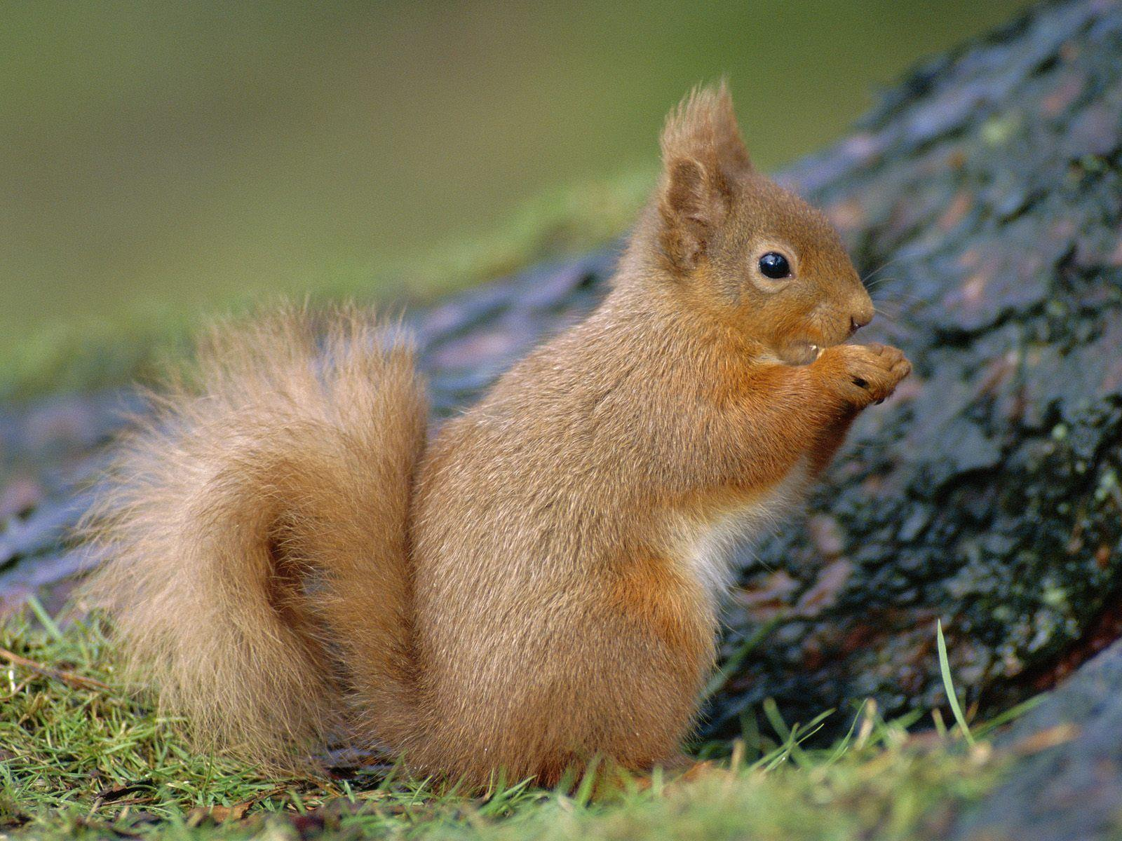 Squirrel Wallpaper 16241 1920x1200 px ~ FreeWallSource.