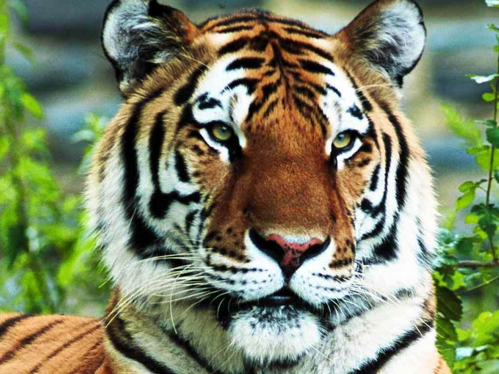 tiger wallpapers free - wallpaper cave
