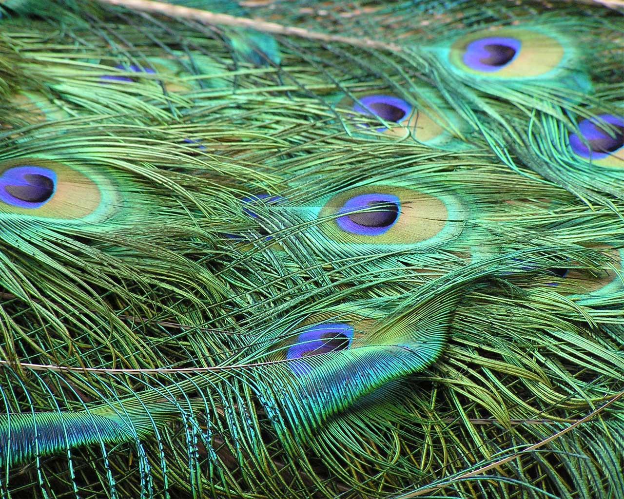 Peacock Feather Desktop Wallpaper Peacock Feather Wallpa...