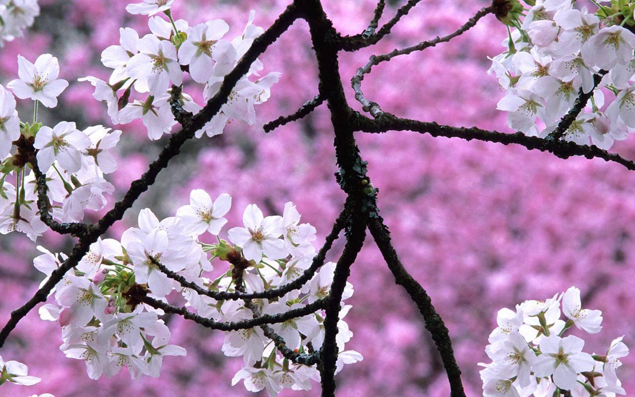 Spring Nature Cherry Blossoms Hq Cool 14 HD Wallpapers
