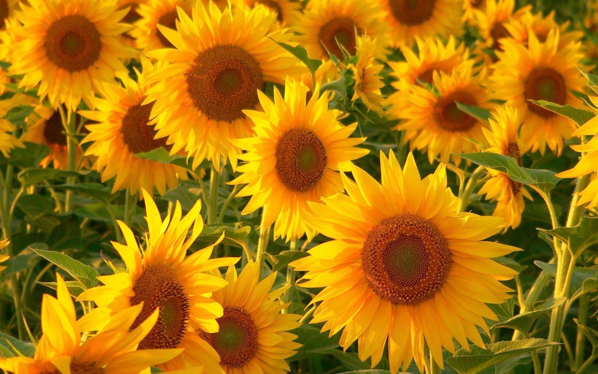 Sunflower Wallpapers - Wallpaper Cave