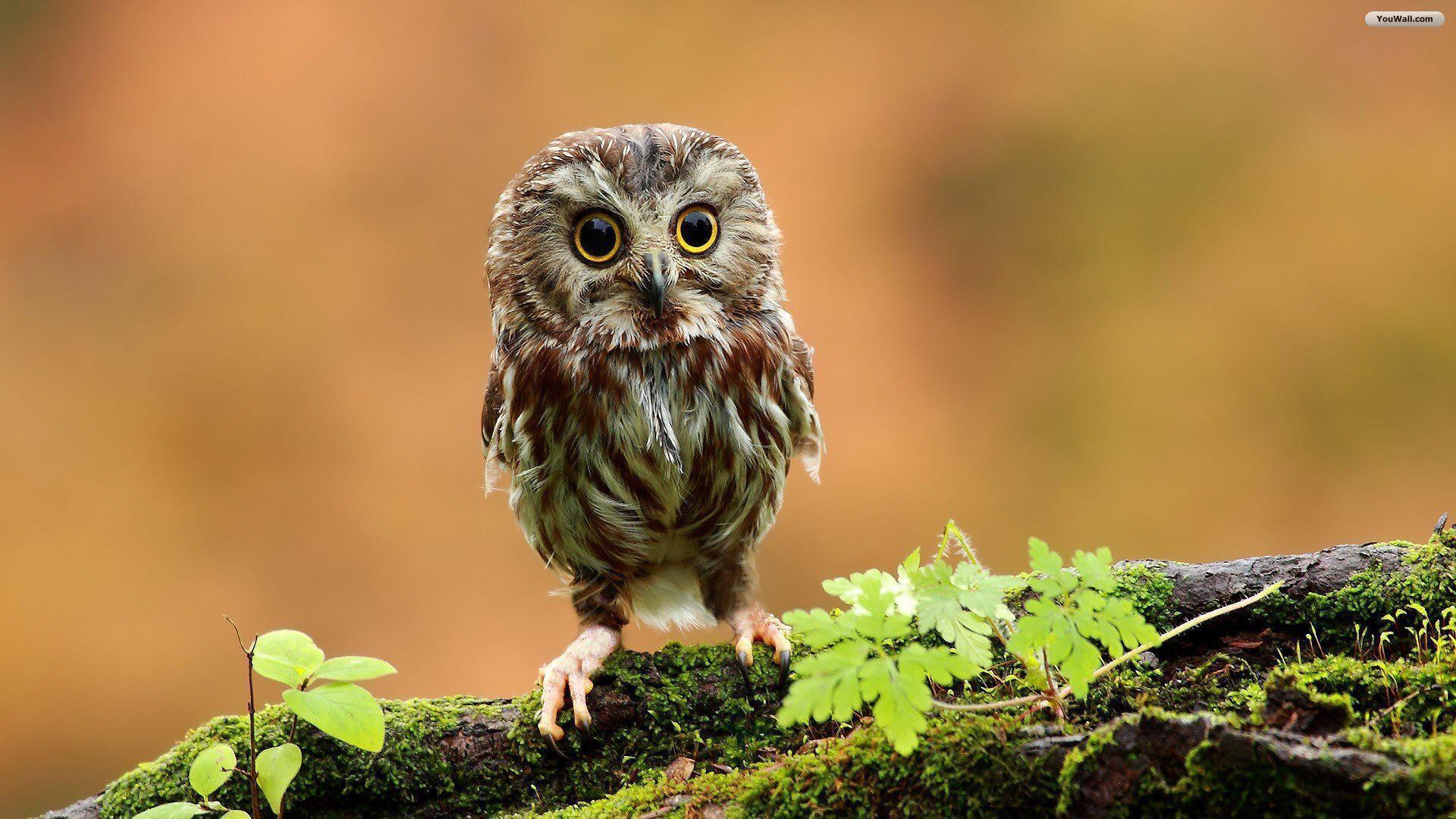 Free Owl Wallpaper 37302 Wallpaper | wallpicsize.