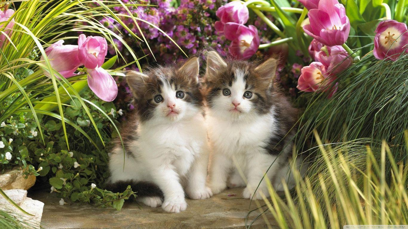 Download Free Kitten Cat Wallpapers 1366x768