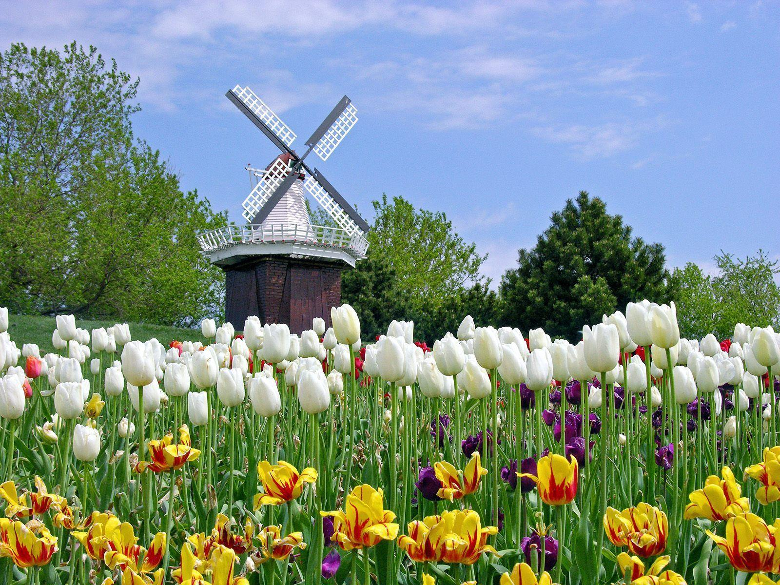 Tulip Flower Garden In Amsterdam Wallpapers
