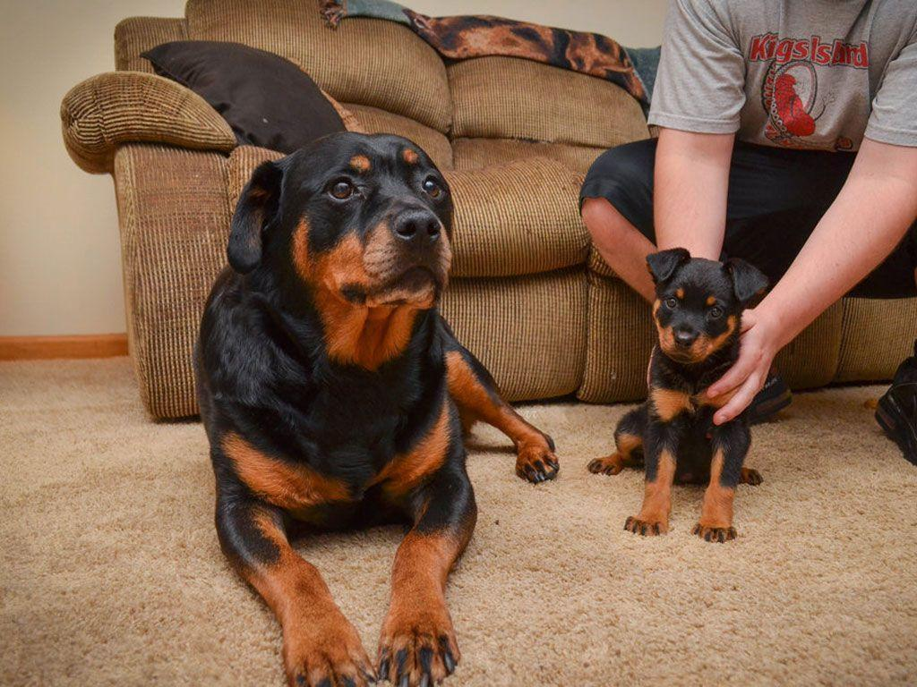 Mother and baby of rottweiler wallpaper