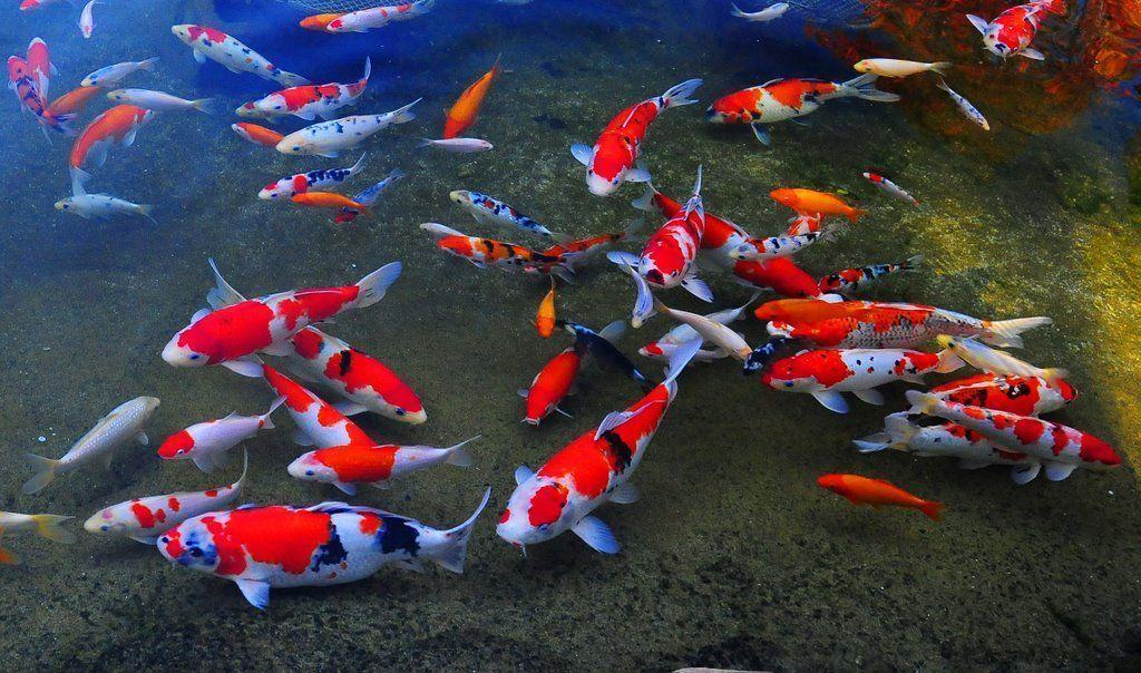 Koi pond wallpapers wallpaper cave - 3d koi pond live wallpaper iphone ...