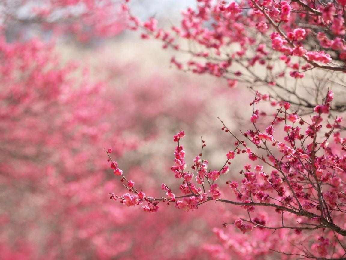 hd cherry blossom backgrounds - photo #7
