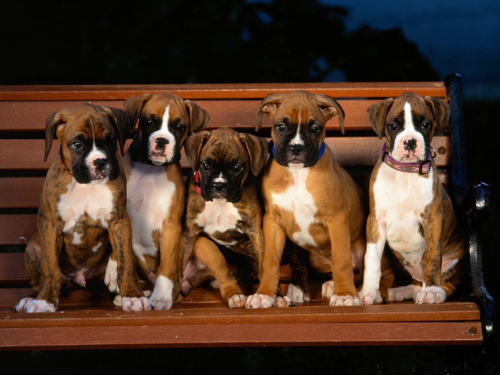 Boxer Dog Wallpapers | WallpapersIn4k.net