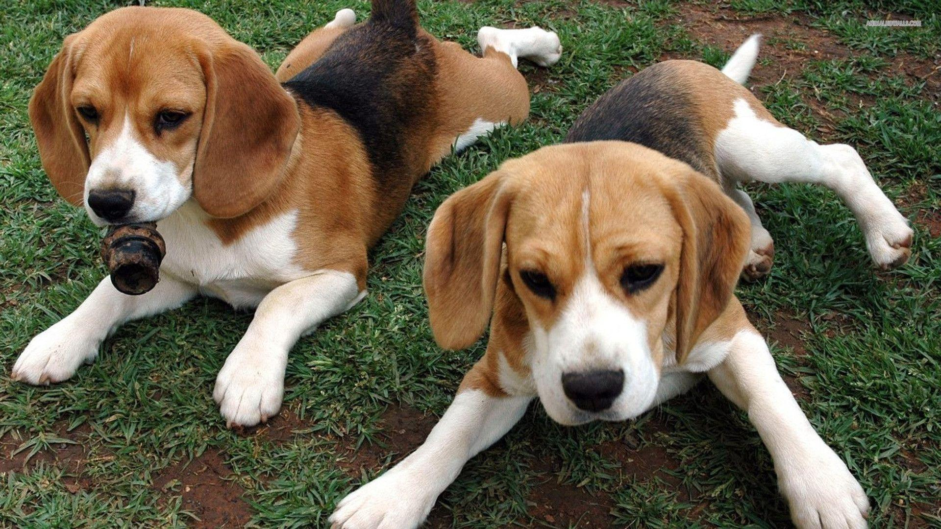 Image Result For Beagle Puppy Wallpaper Awesome Beagle Wallpapers Wallpaper Cave