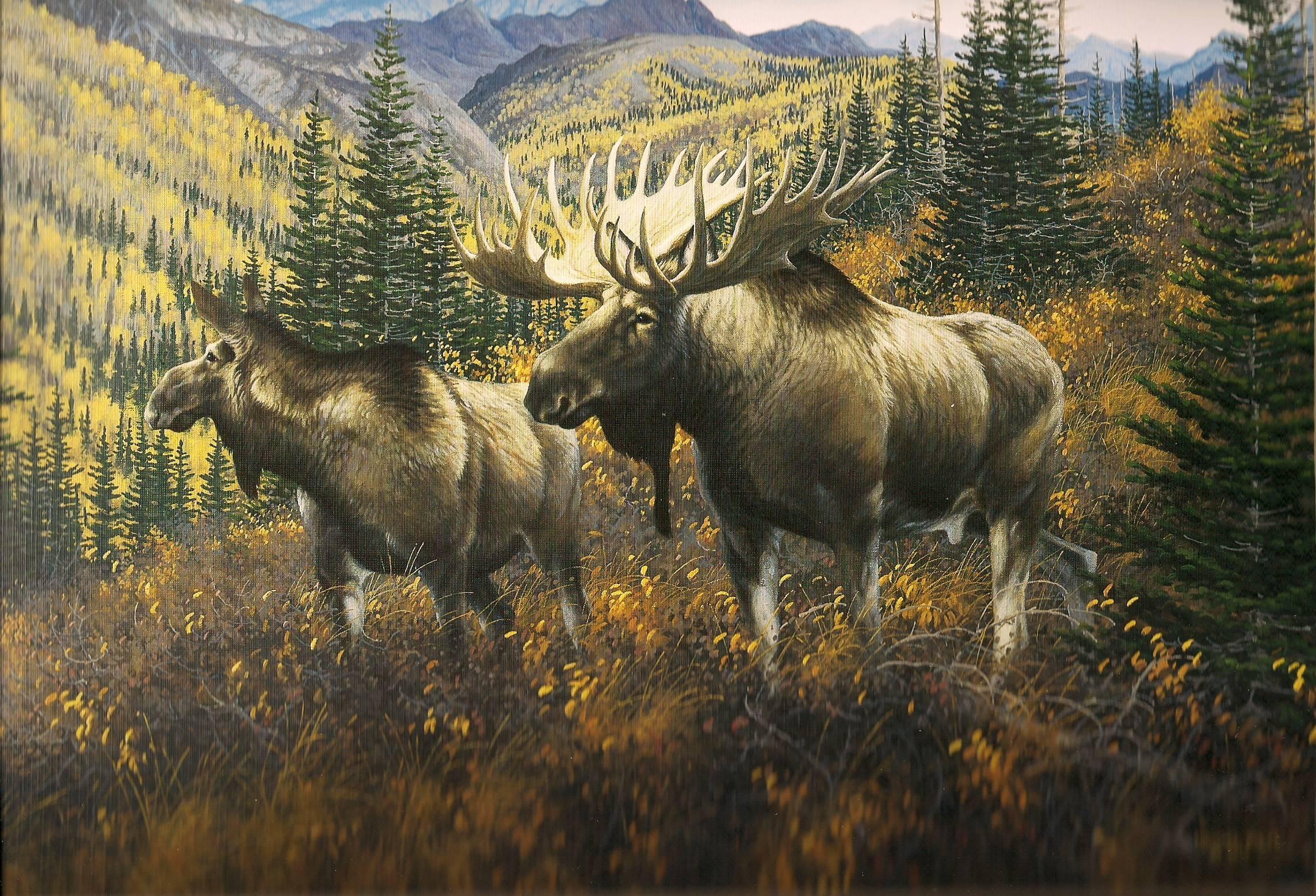 Bull moose wallpaper - photo#5