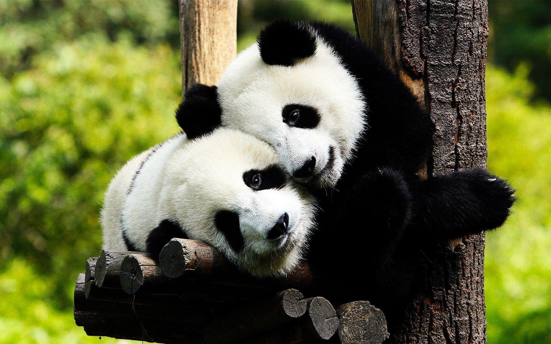 Panda Bear Wallpapers - Wallpaper Cave