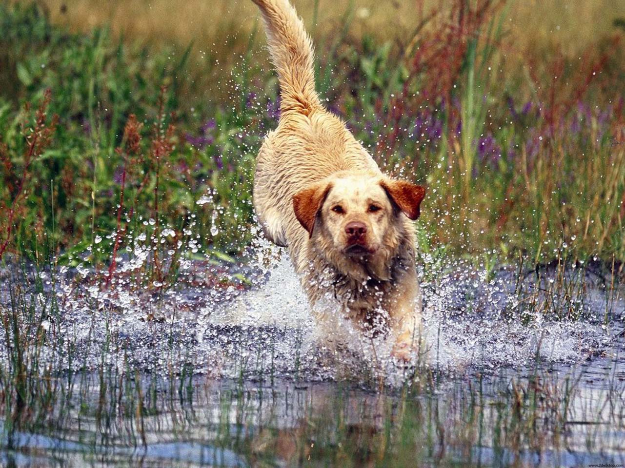 hunting dog wallpapers - wallpaper cave