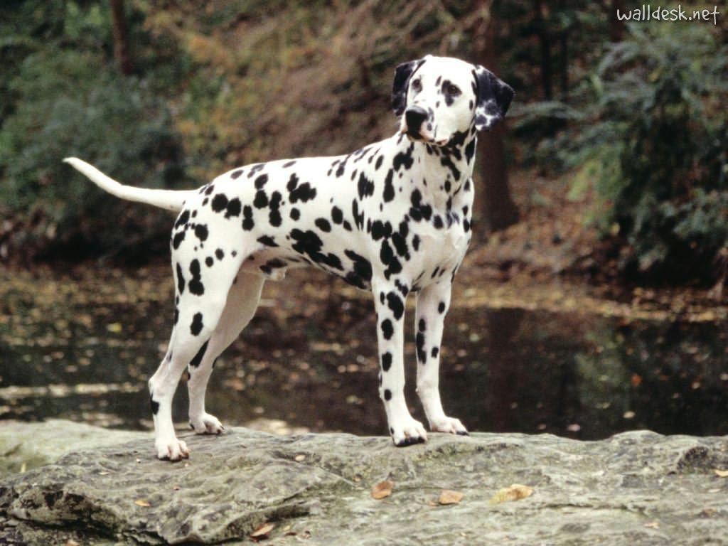 Dalmatian Dog HD Wallpapers