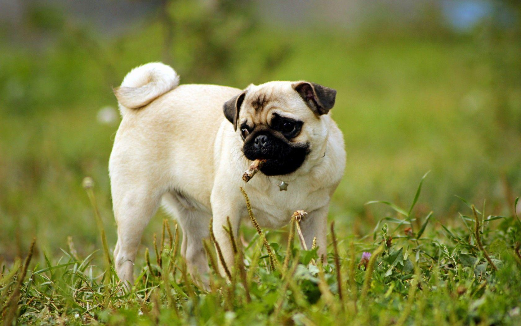pug wallpapers free download