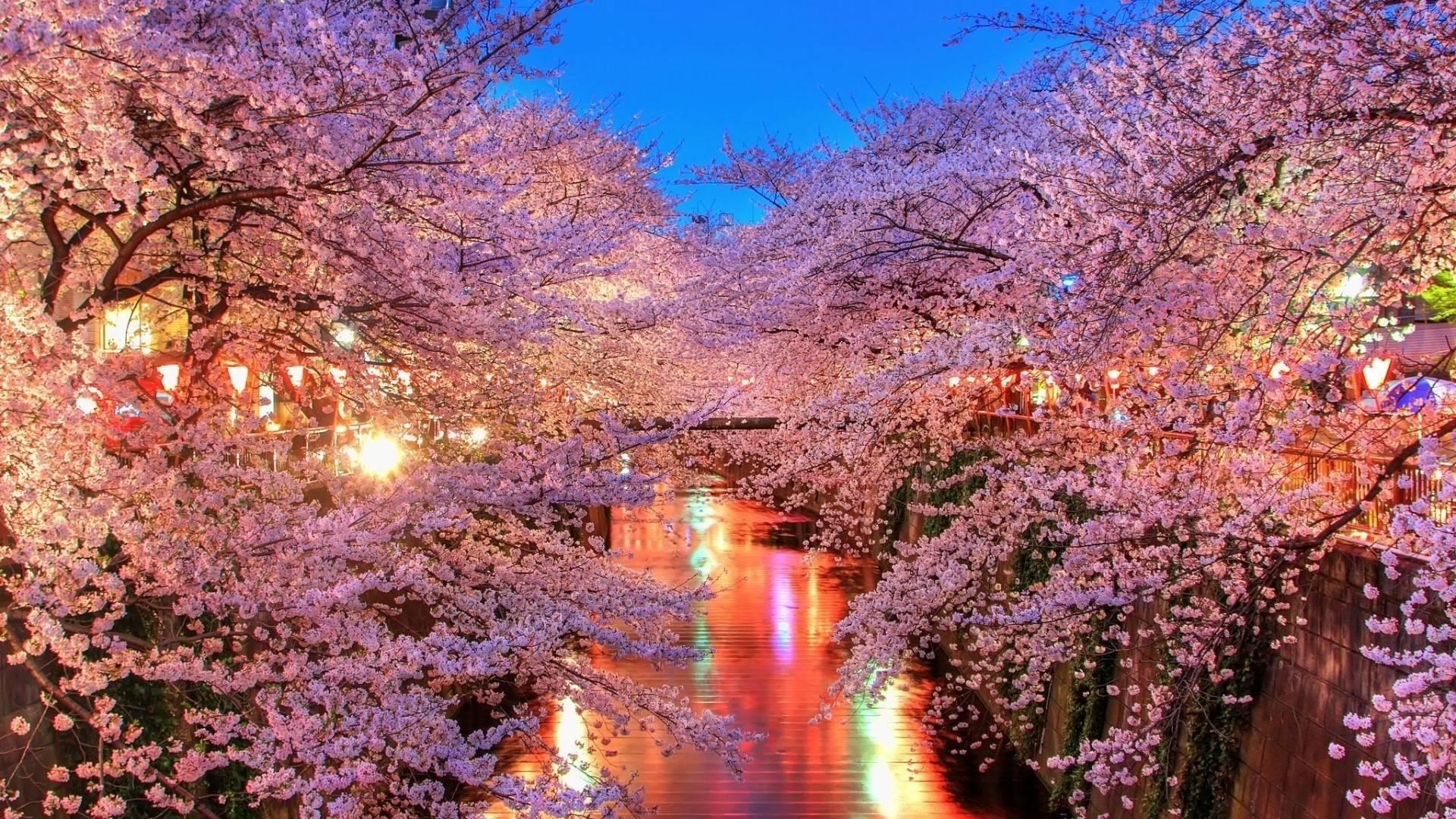 Cherry Blossom Flowers Tree Path Tree wallpaper x
