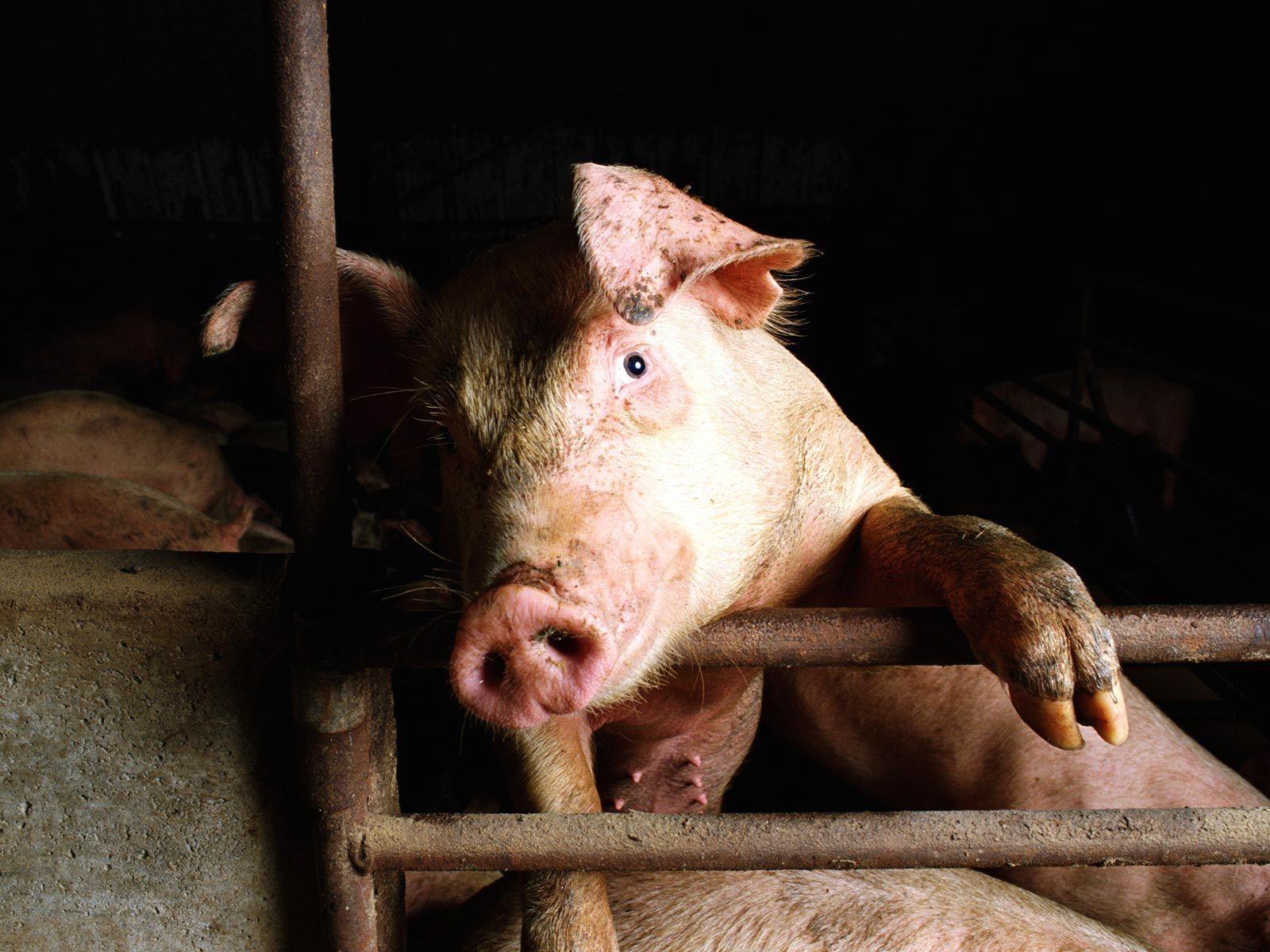 Pig HQ wallpaper - Animal Backgrounds