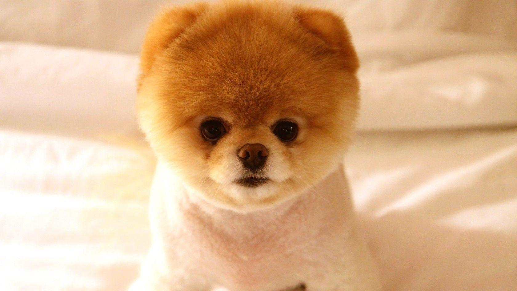 Pomeranian Puppies Wallpapers Wallpaper Cave