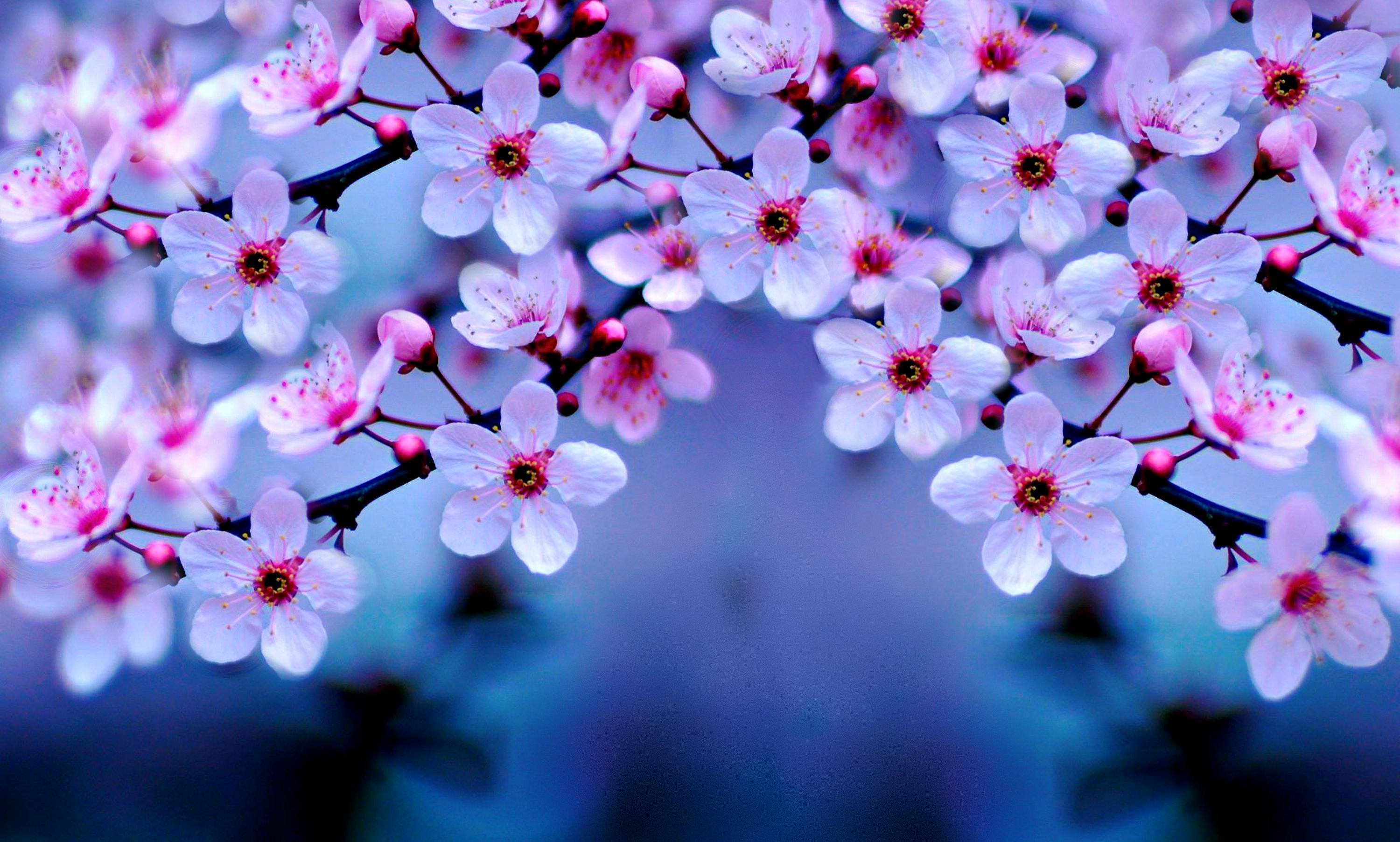cherry blossom desktop backgrounds  wallpaper cave, Natural flower