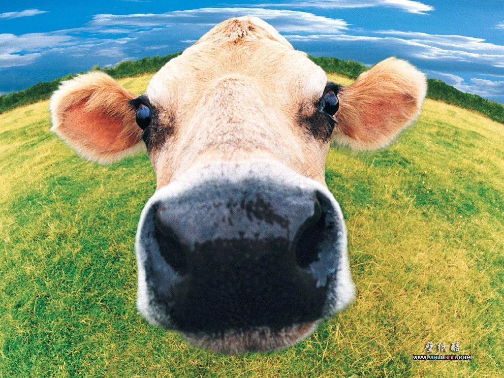 funny cow wallpaper - photo #7