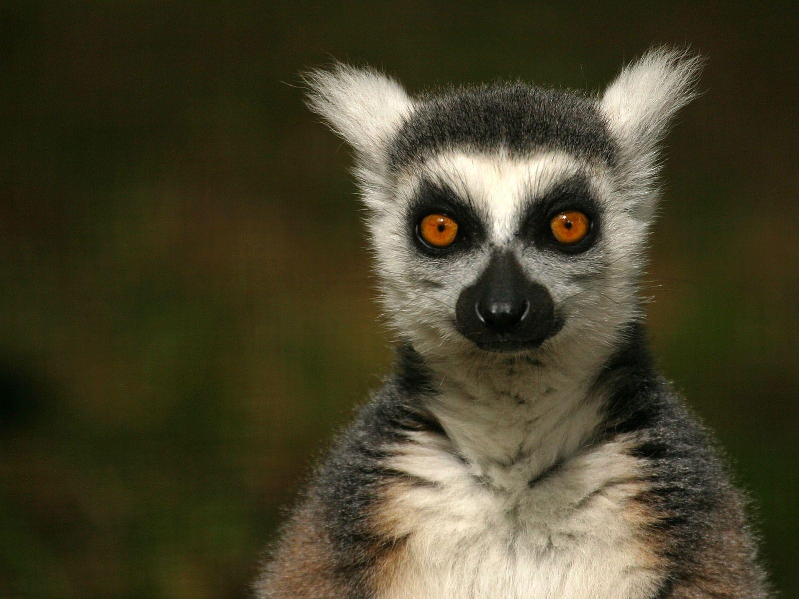 Good Lemur Wallpaper - fBqXerS  You Should Have_5715.jpg