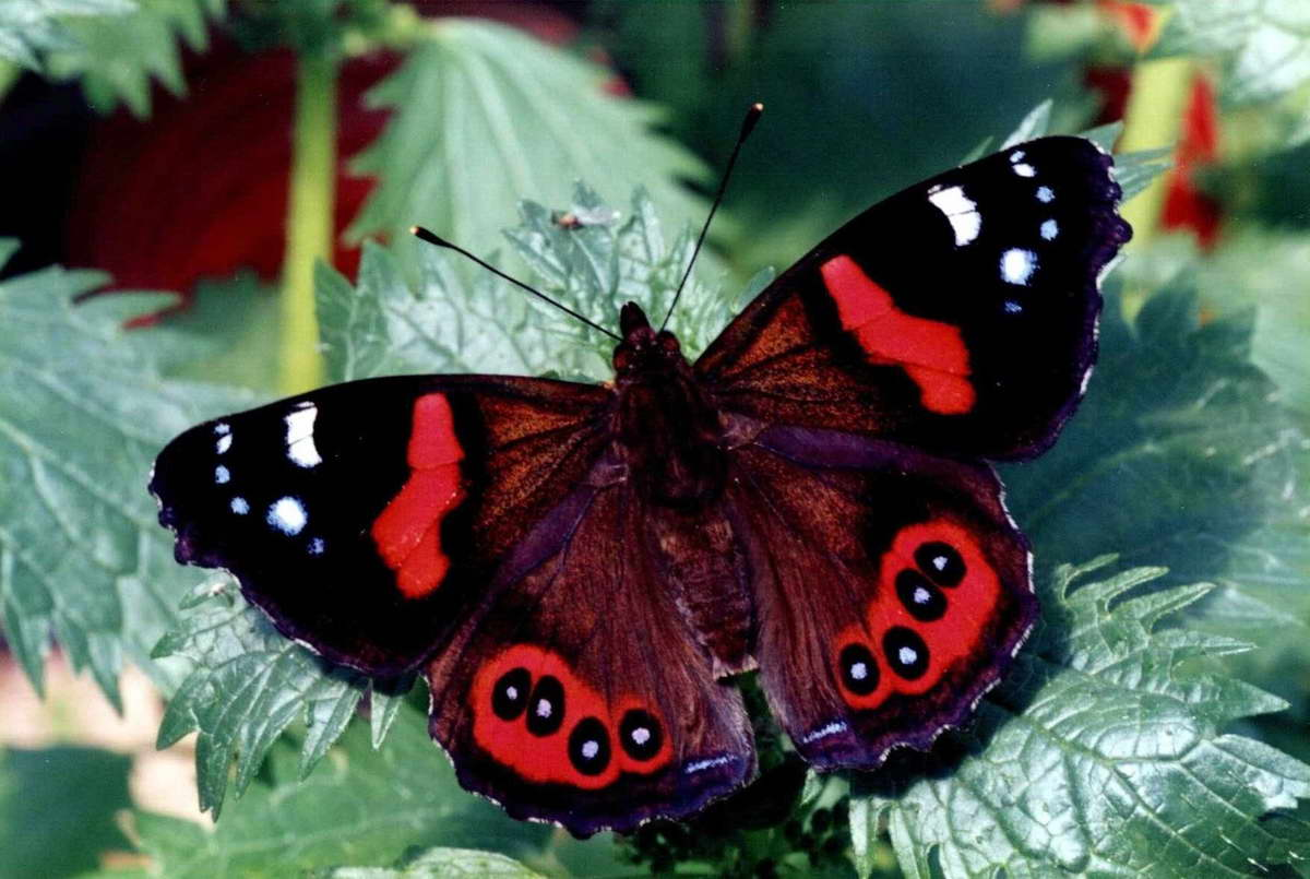red butterfly wallpapers - photo #11